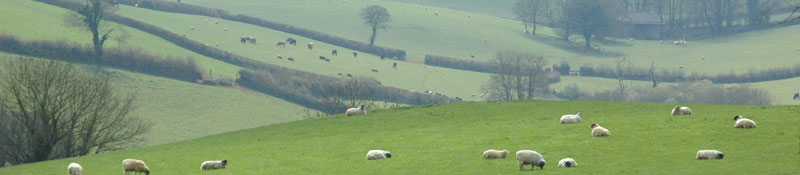Rolling south hams hills with sheep
